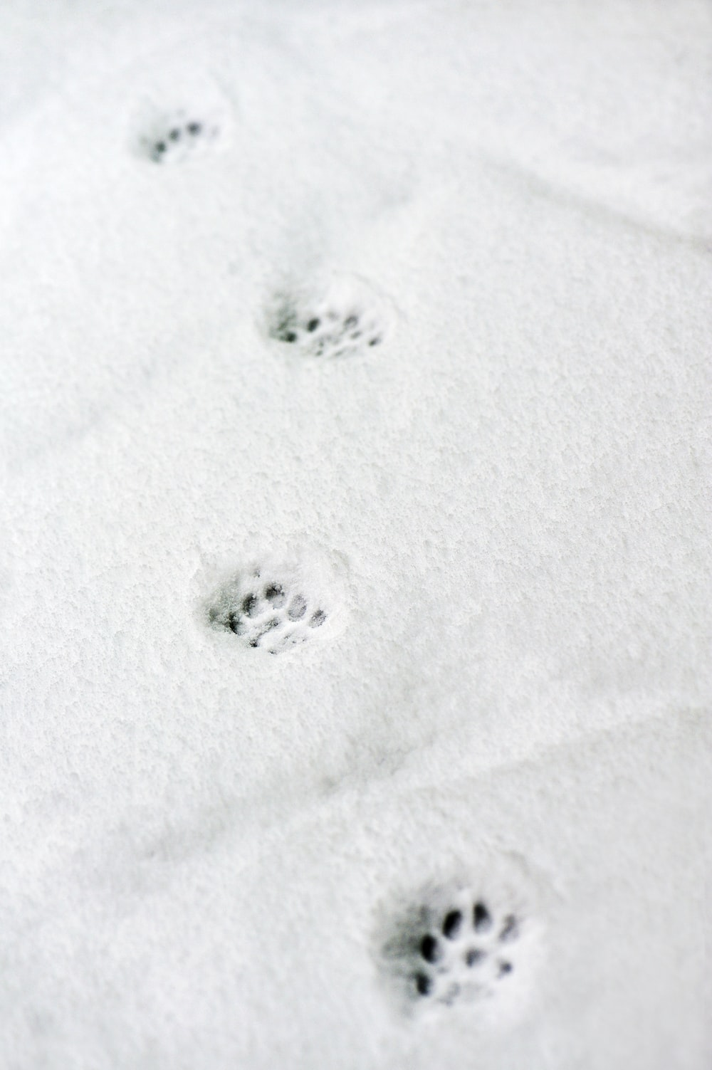 snow paw prints