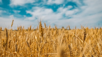 Boundless fields of wheat in the east of Ukraine