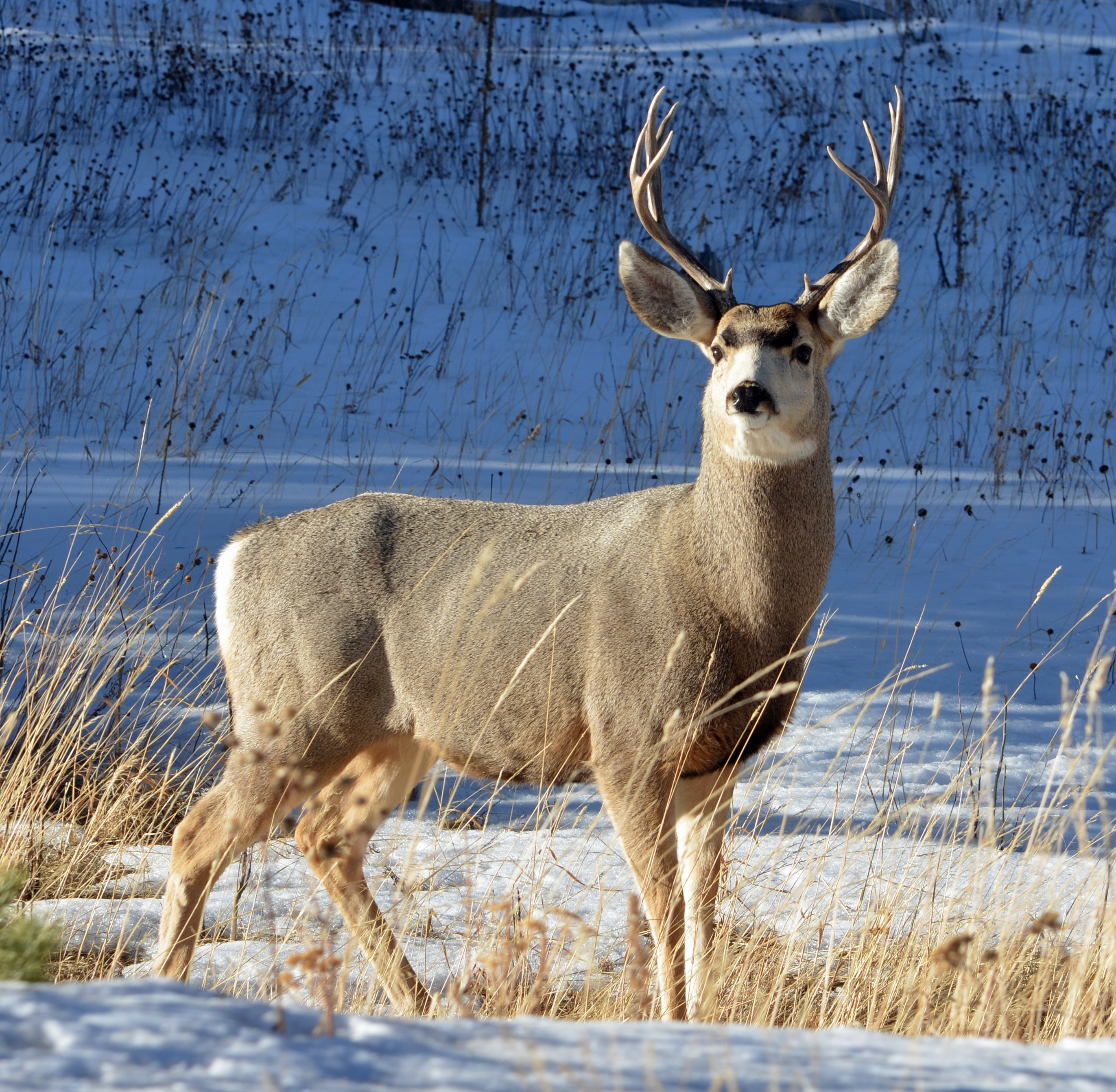 gray and white deer on snow field