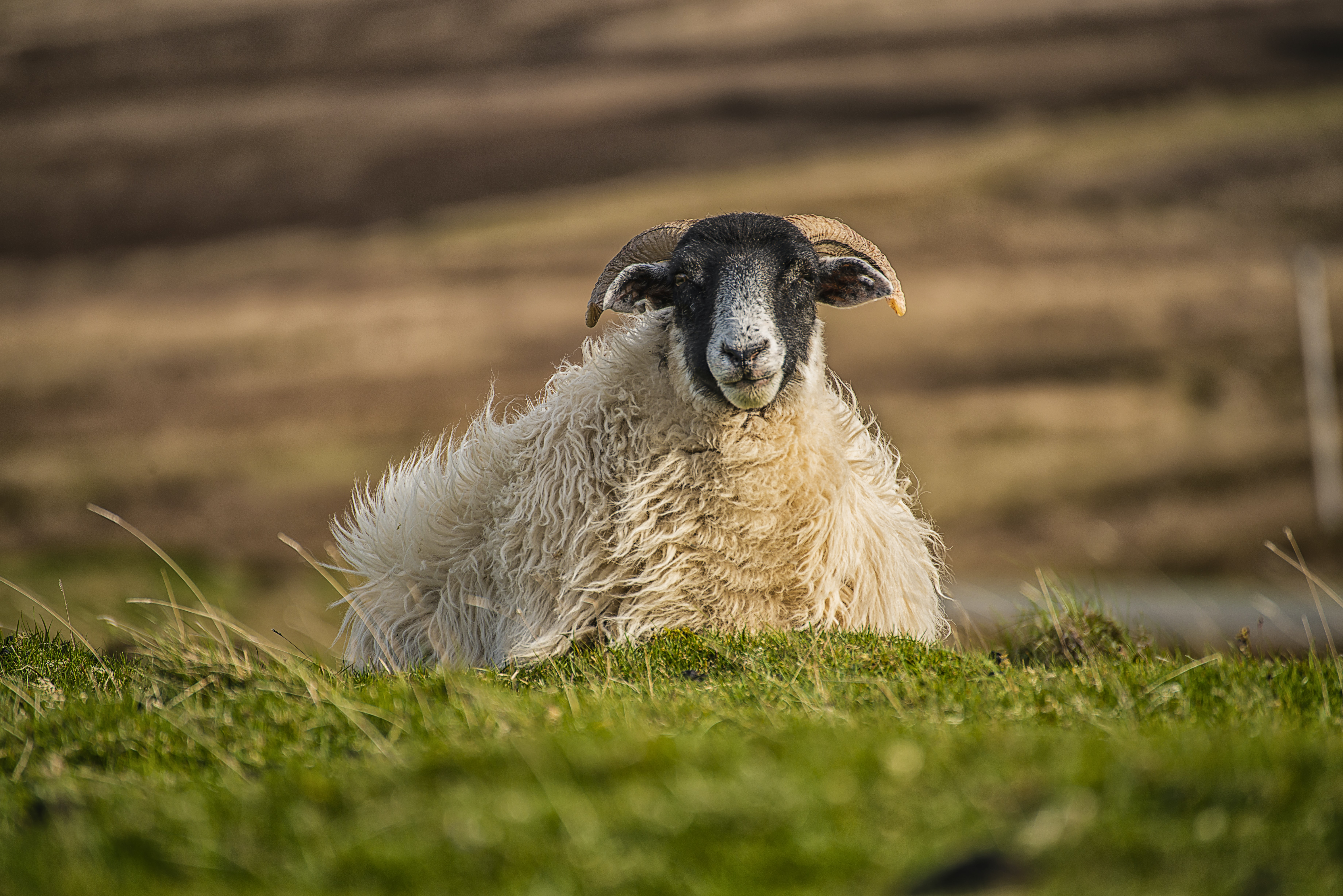 white and beige sheep on grass