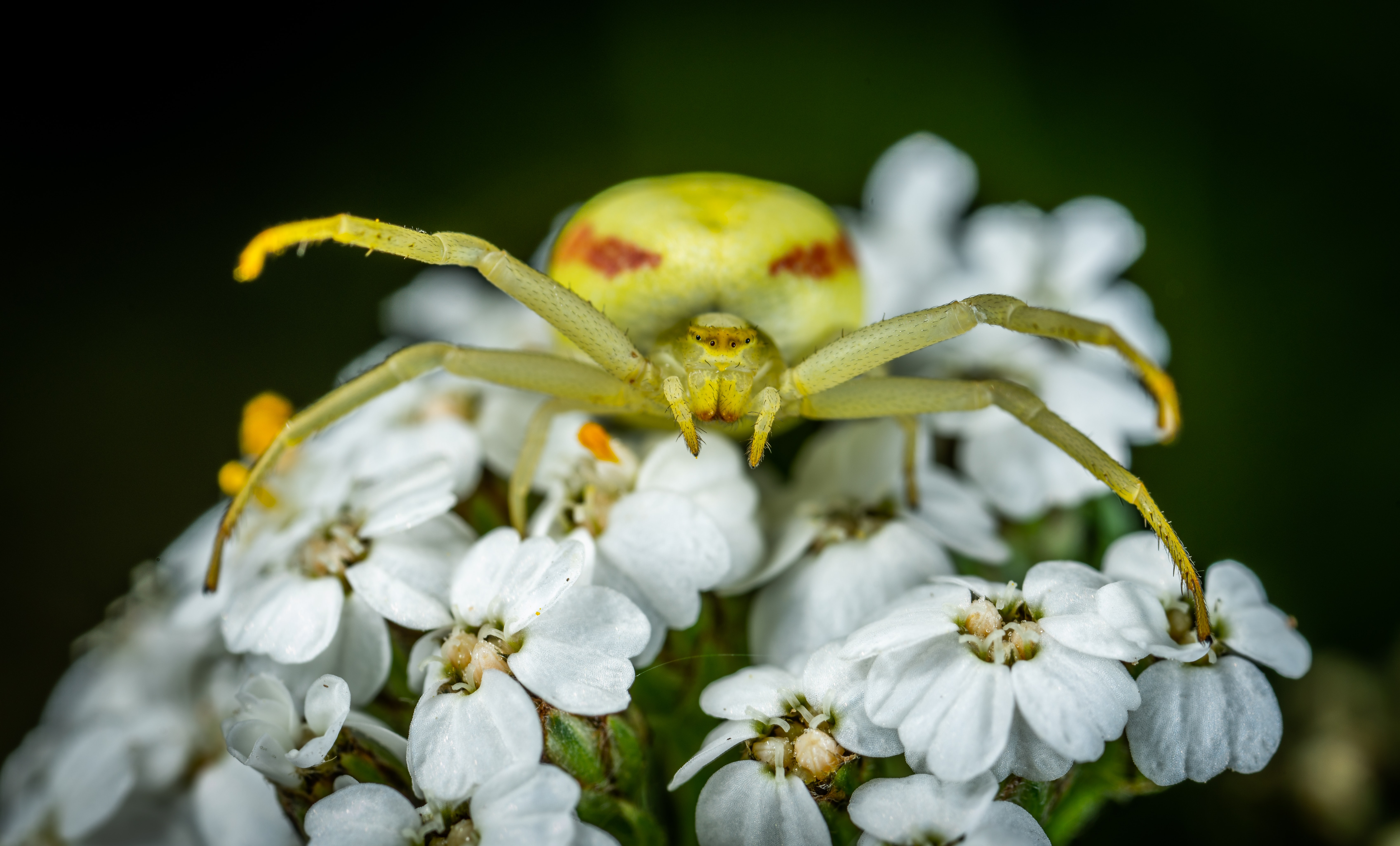 close up photography of crab spider on white flowers