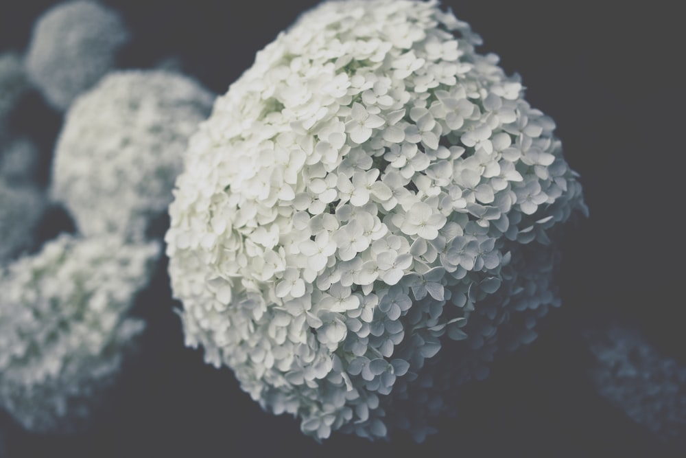 selective focus photo of white hydrangeas flower
