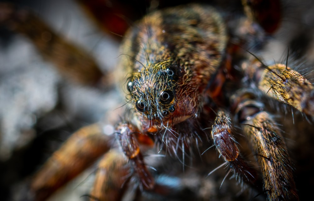 macro shot of brown and black spider