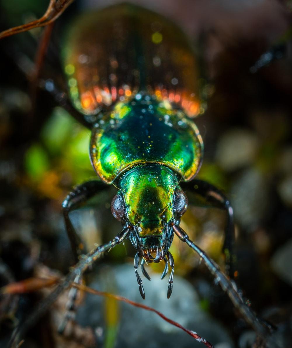 green and orange beetle