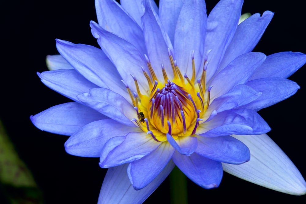 selective focus photography of purple and yellow waterlily flower