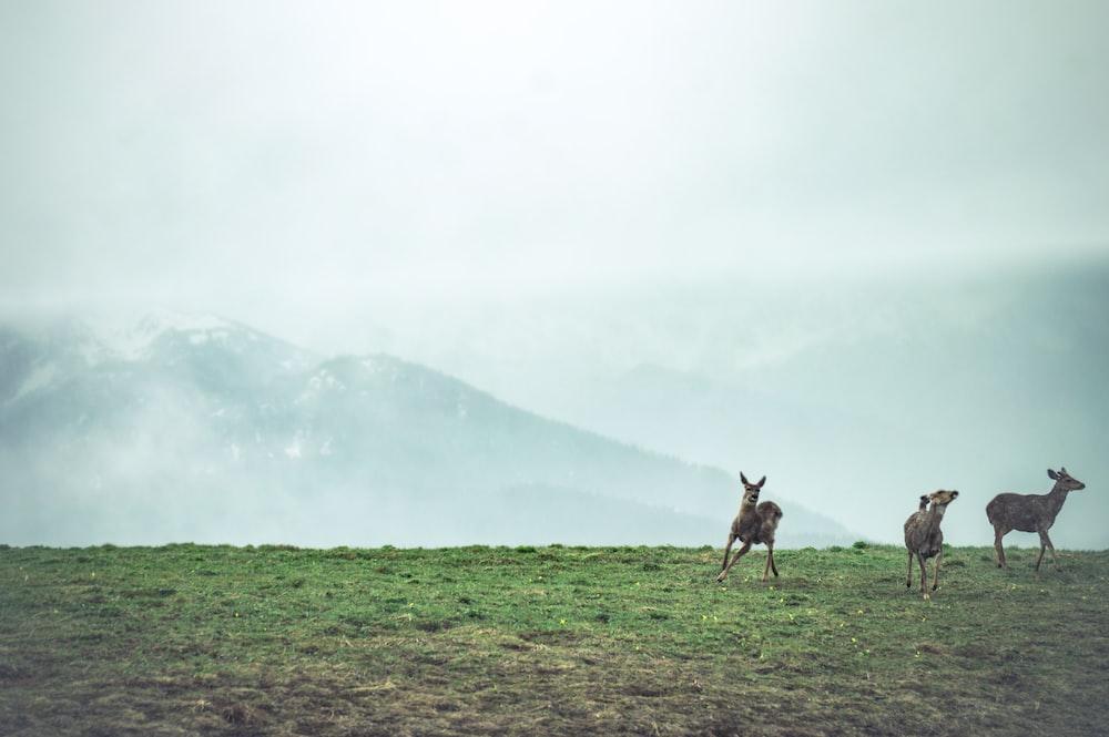 three animals running on green grass at daytime