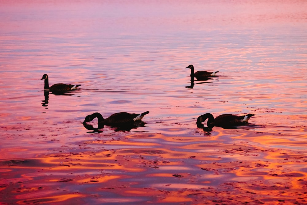 four swans on body of water during daytime