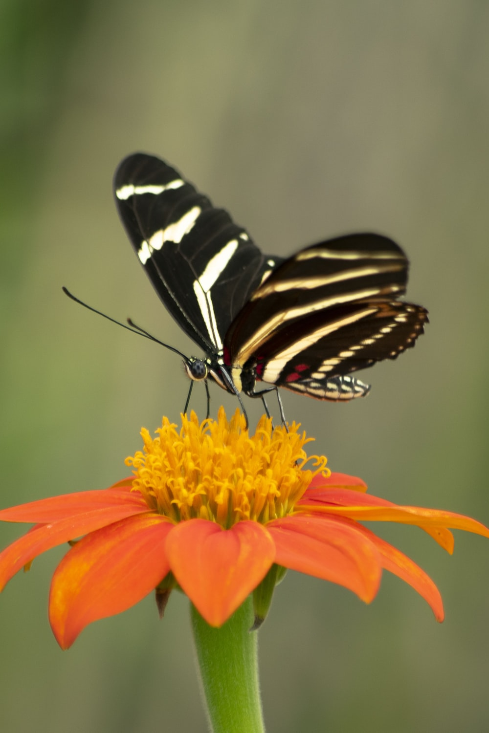 selective focus photography of black butterfly on orange flower