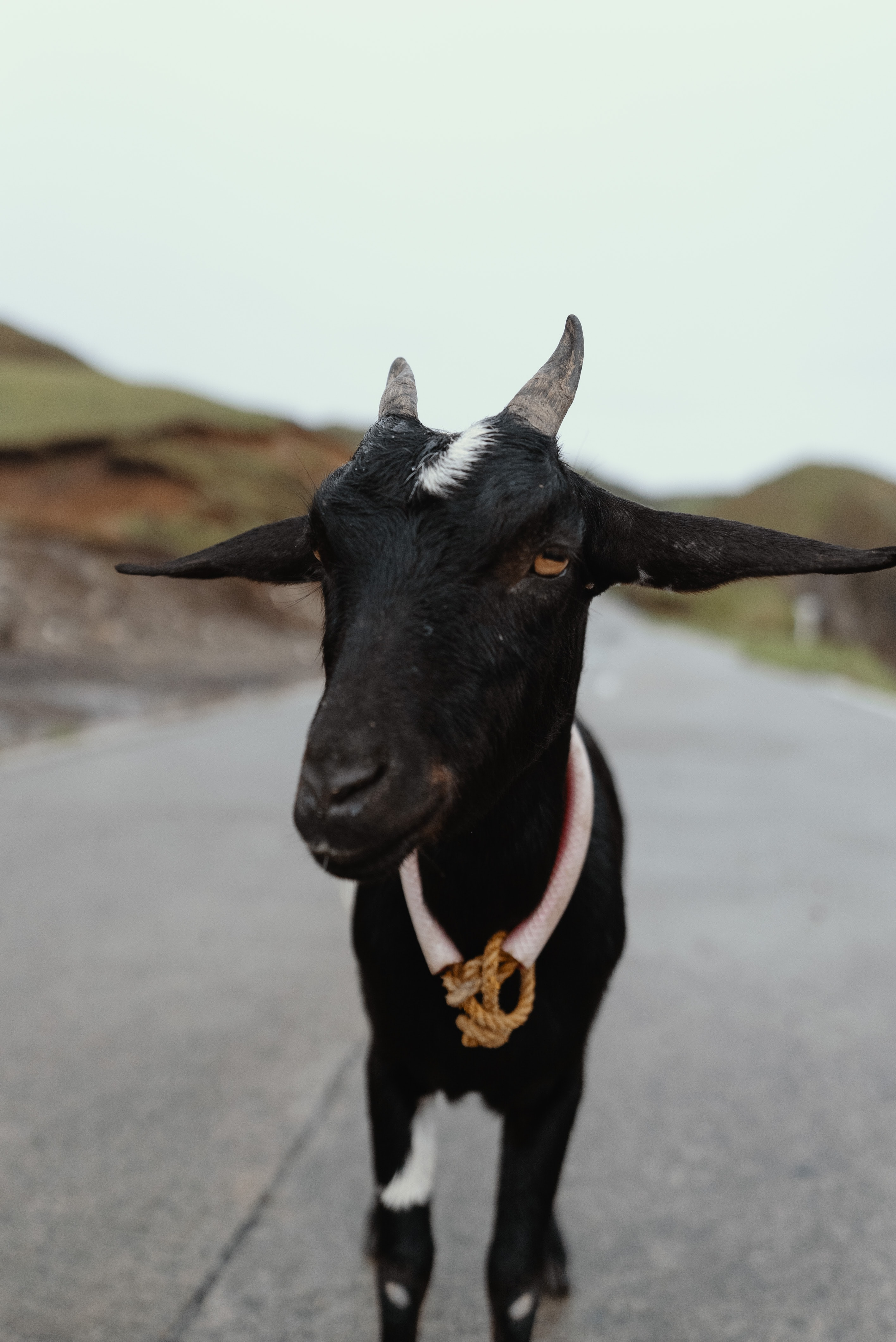 closeup photography of black goat on road during daytime