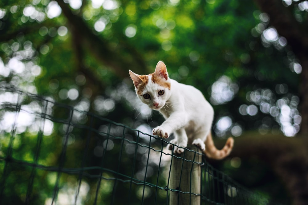 white and orange bicolor cat on fence