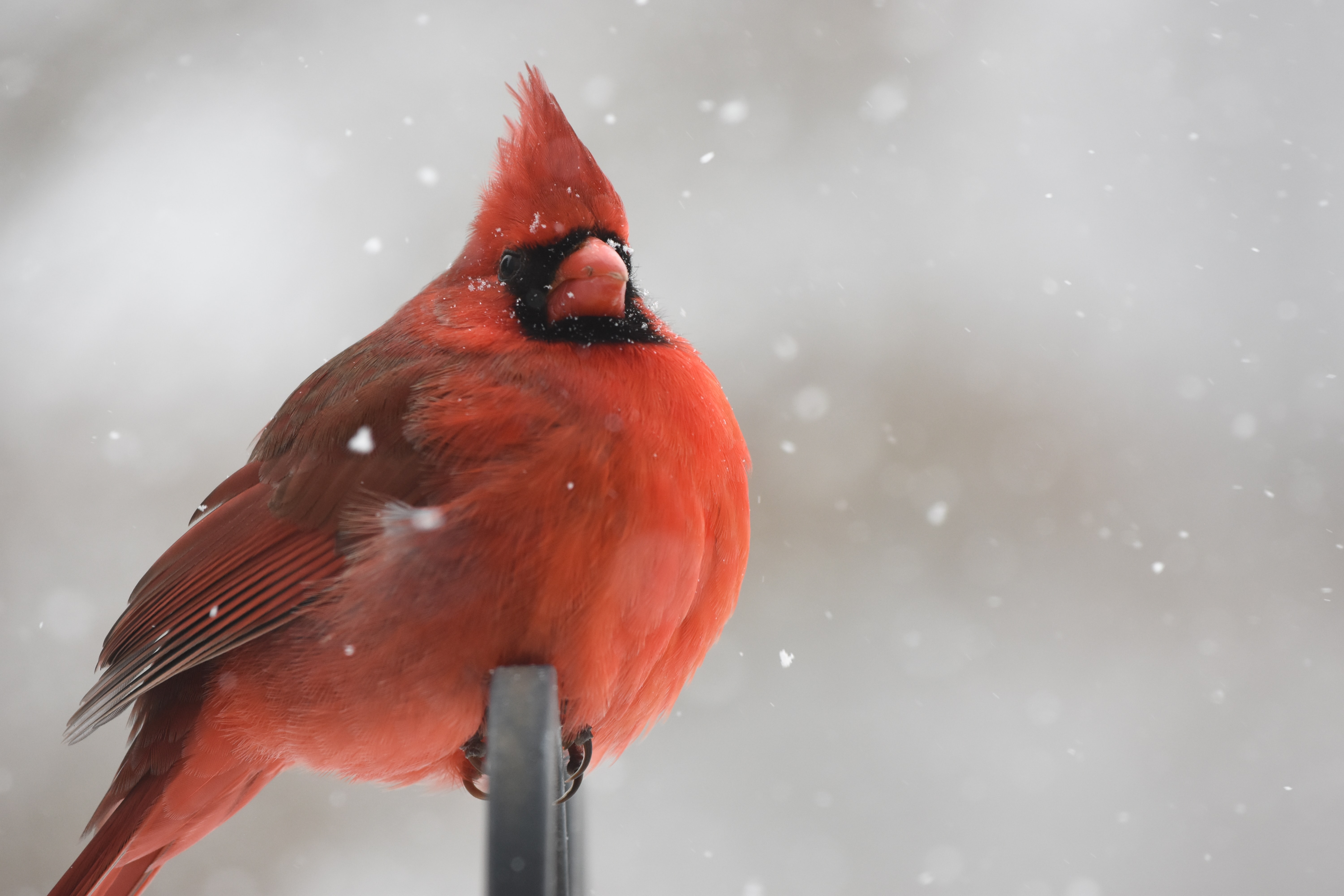 red cardinal perching on black metal bar