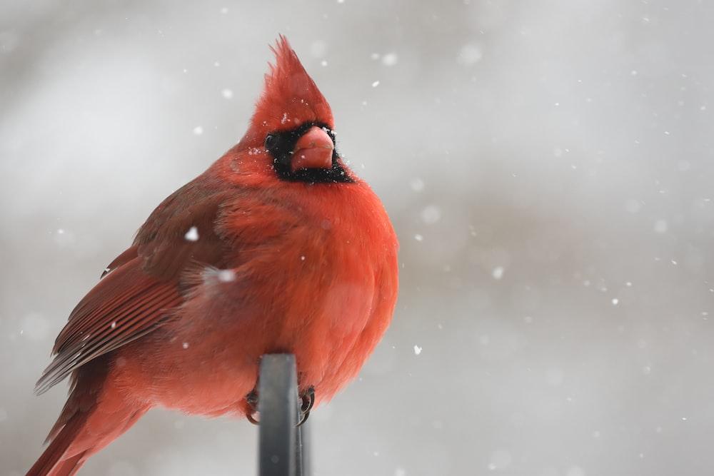 red cardinal perching on black metal bar