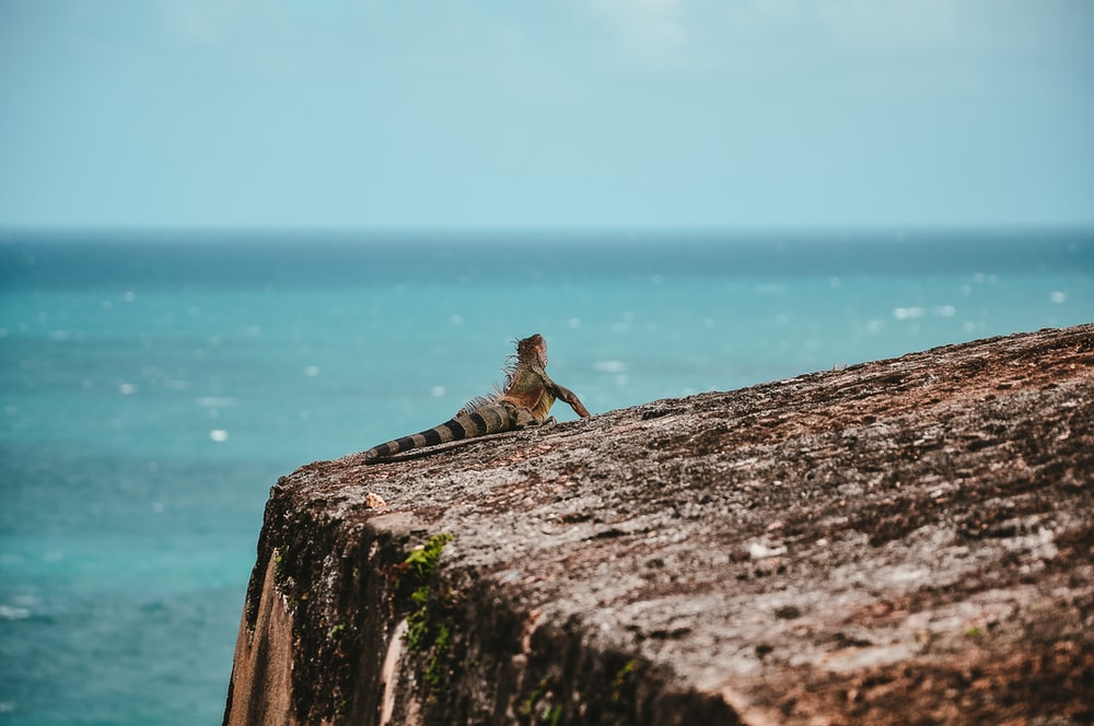 gray and brown iguana on cliff