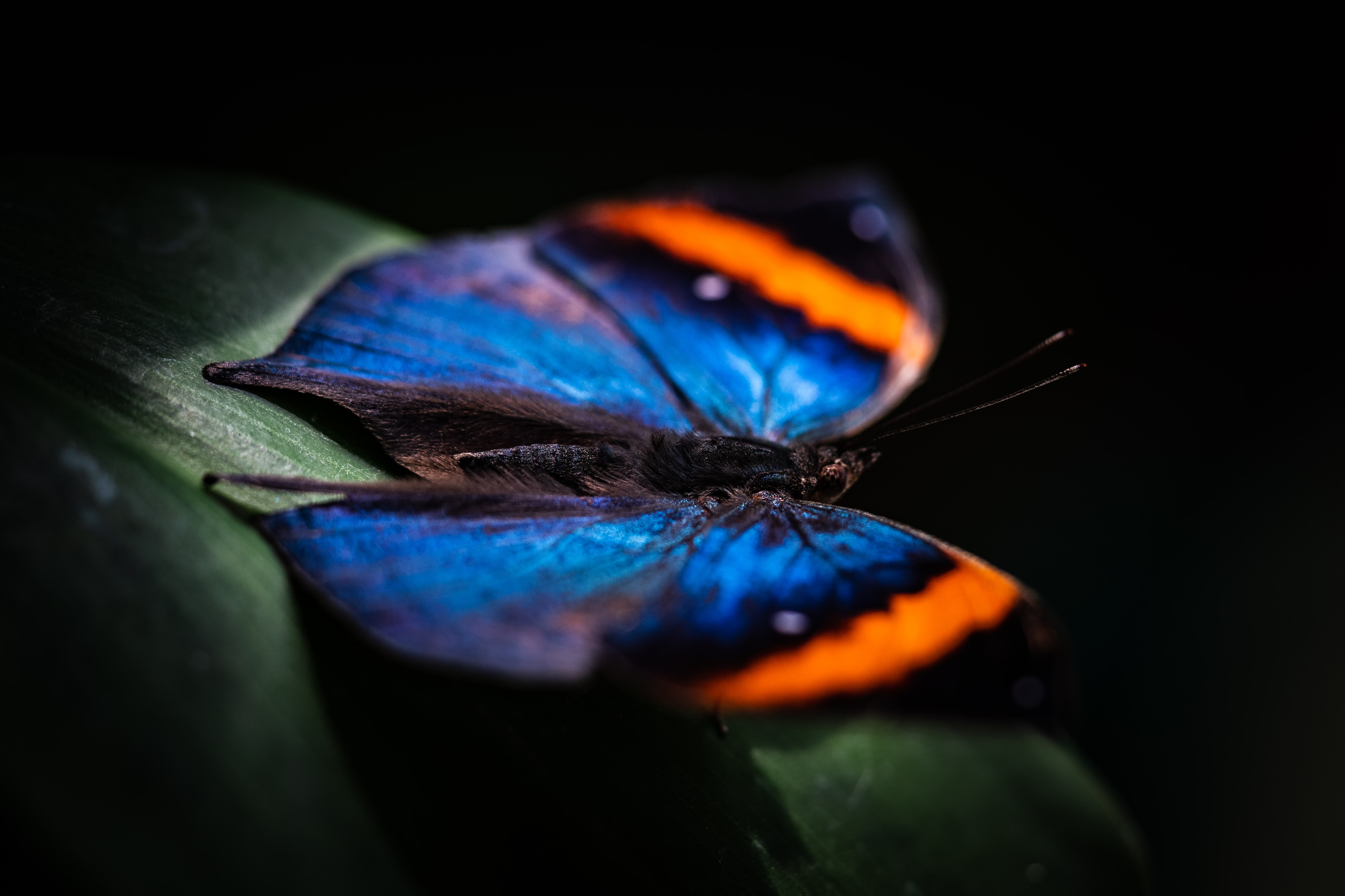 closeup photography of blue and orange butterfly on green leaf