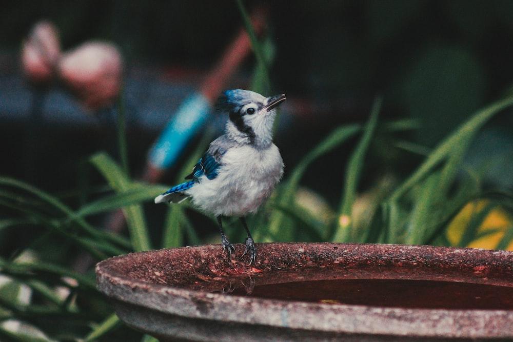 white and blue bird perched on grey stone birdbath