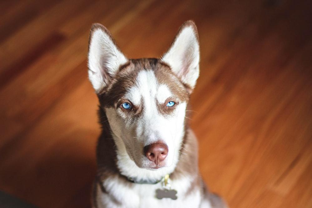 adult brown and white Siberian husky