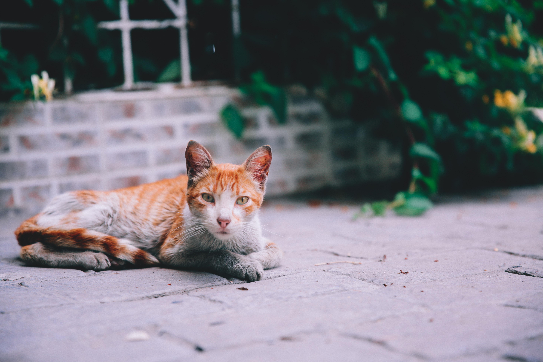 orange tabby cat lying on floor