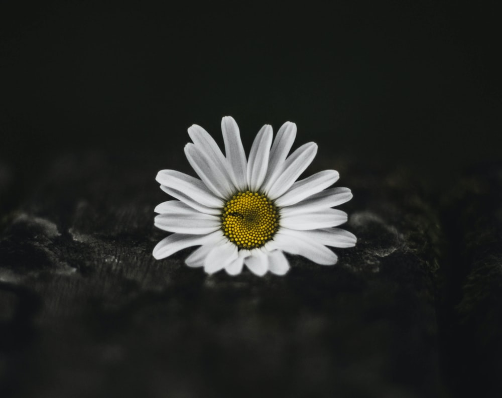 selective color photo of white daisy