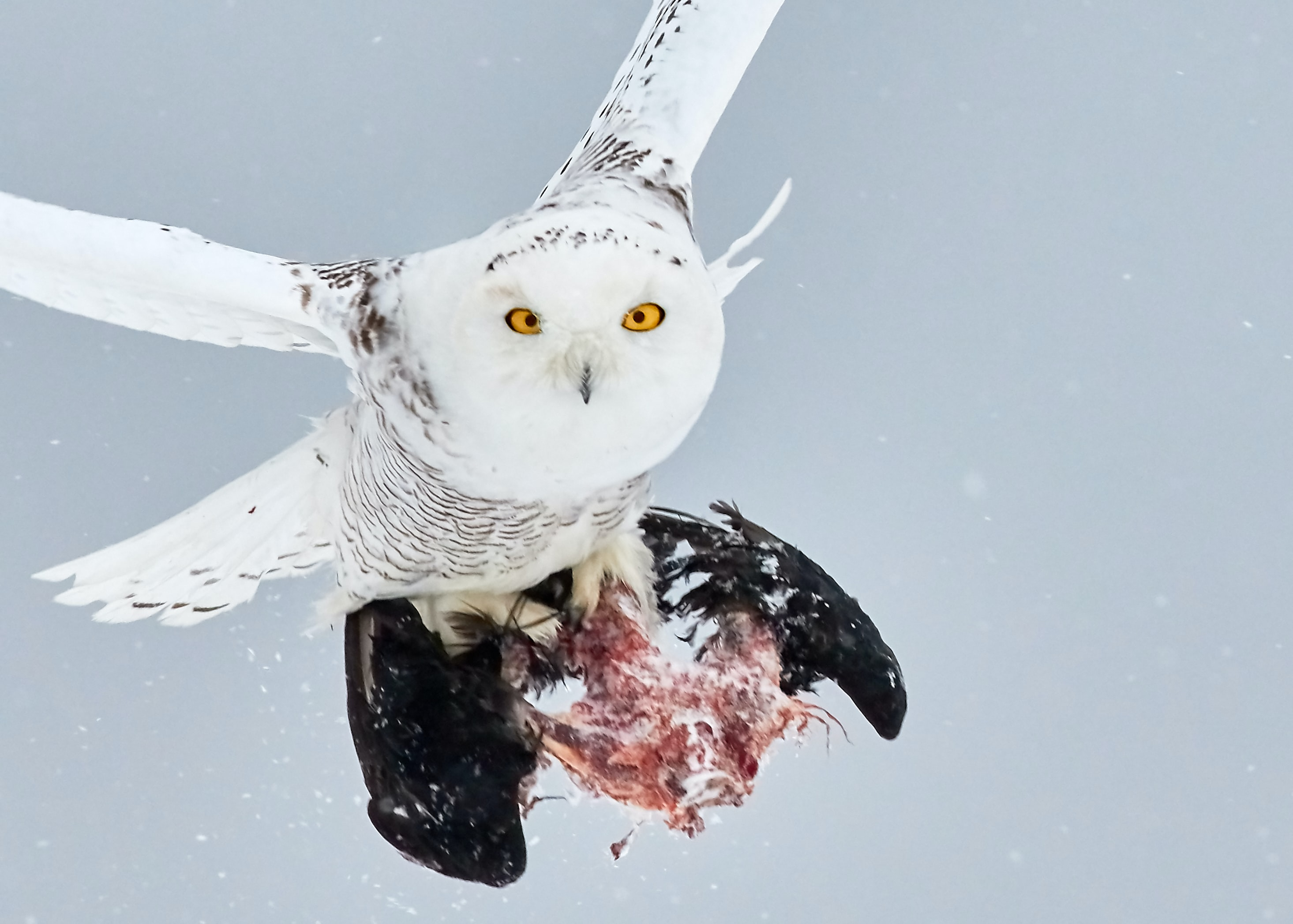 white owl holding prey
