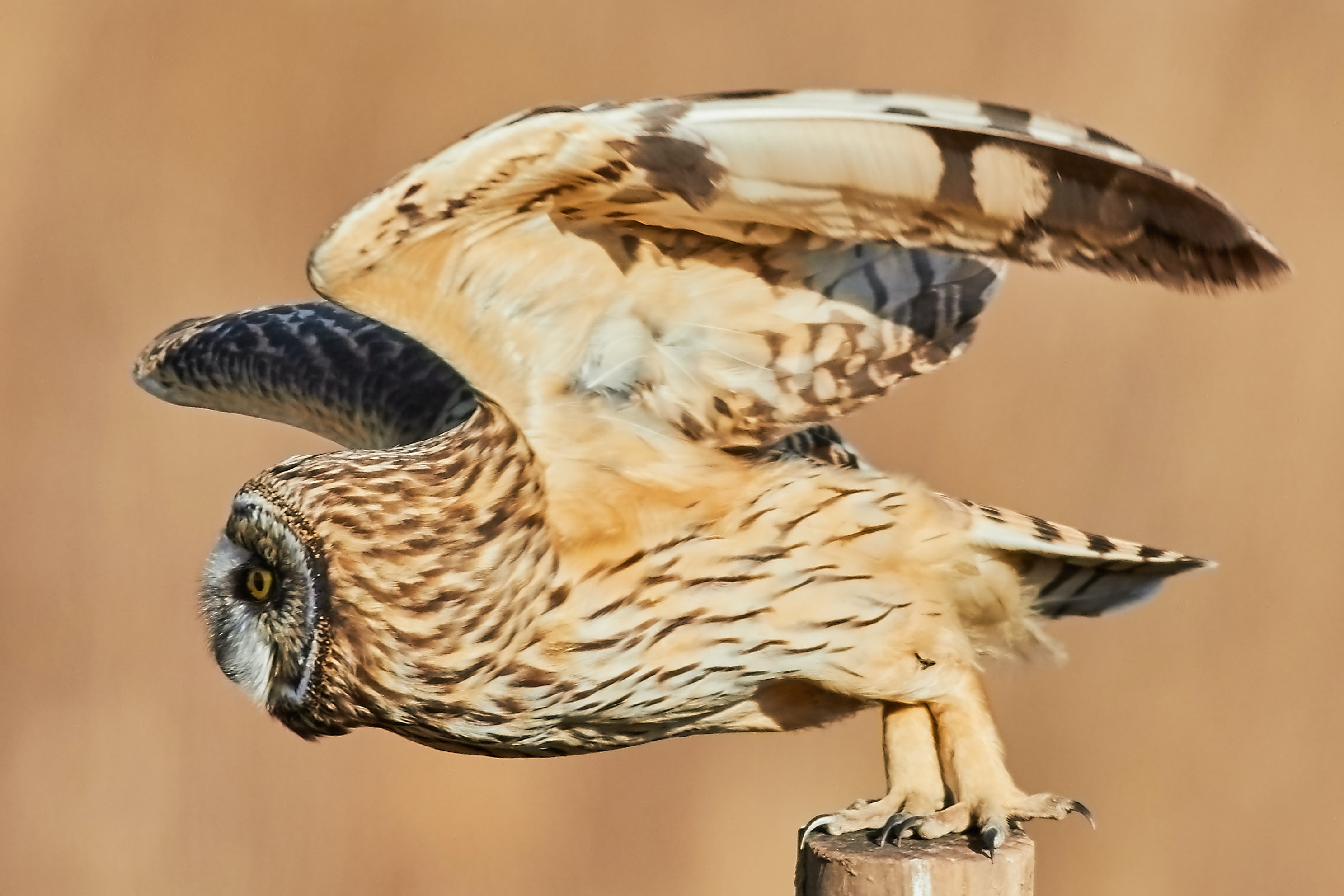 brown owl with open wings