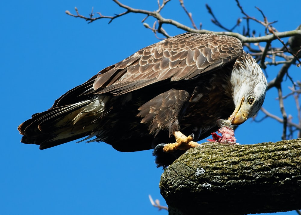 bird of prey eating meat on tree