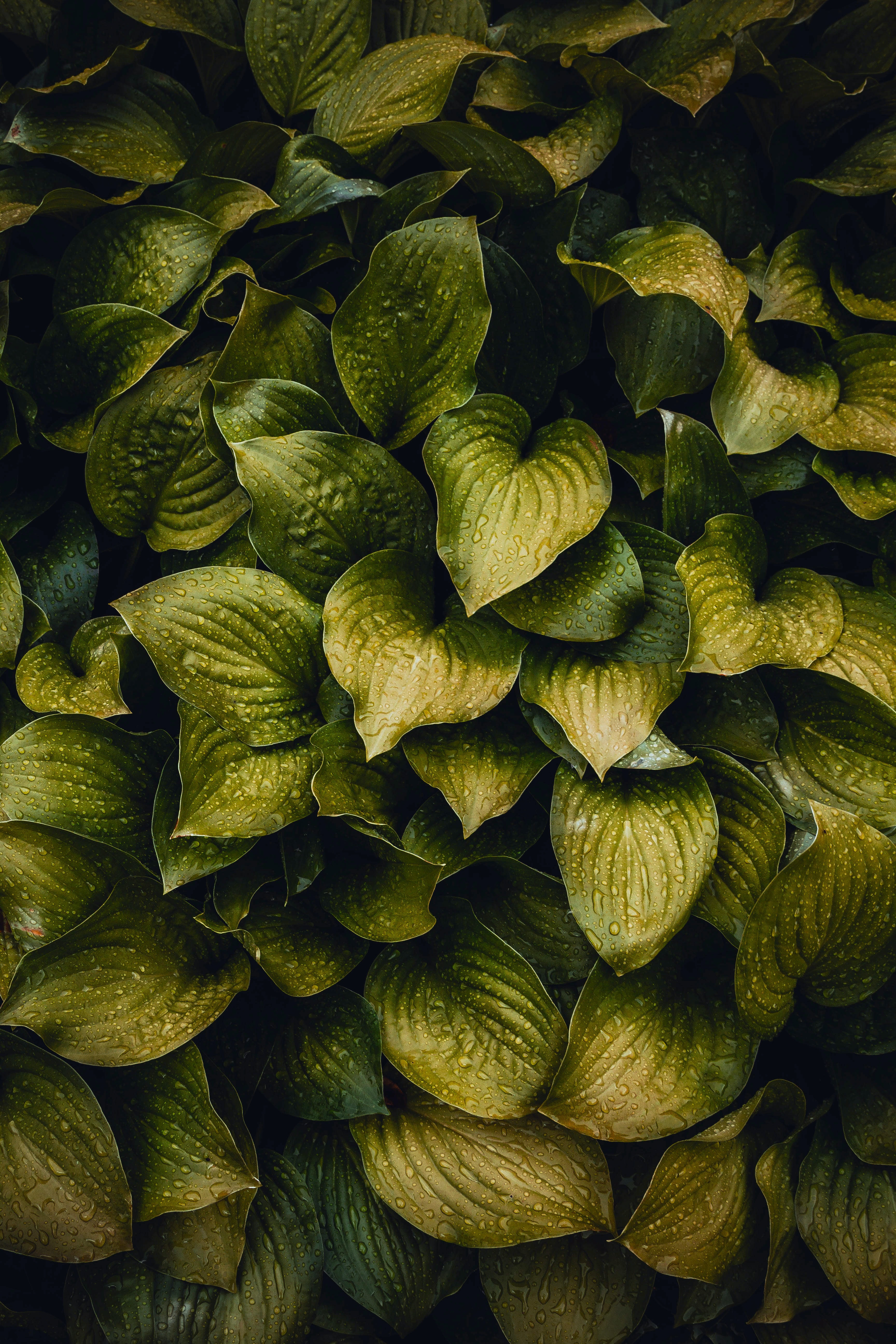 heart-shaped green leaf plants