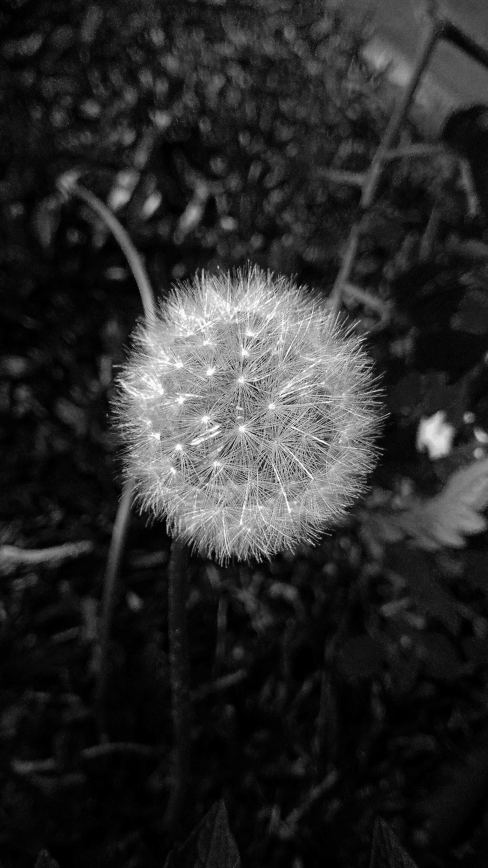 27 Dandelion Pictures Download Free Images On Unsplash