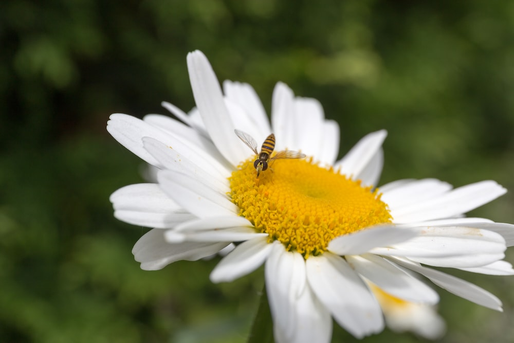 bee hovering above white flower