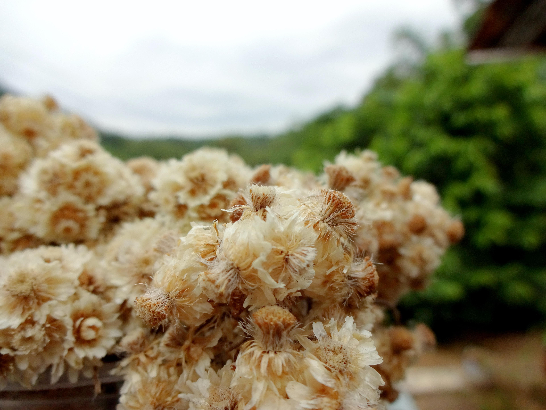 Edelwies is perennial flower