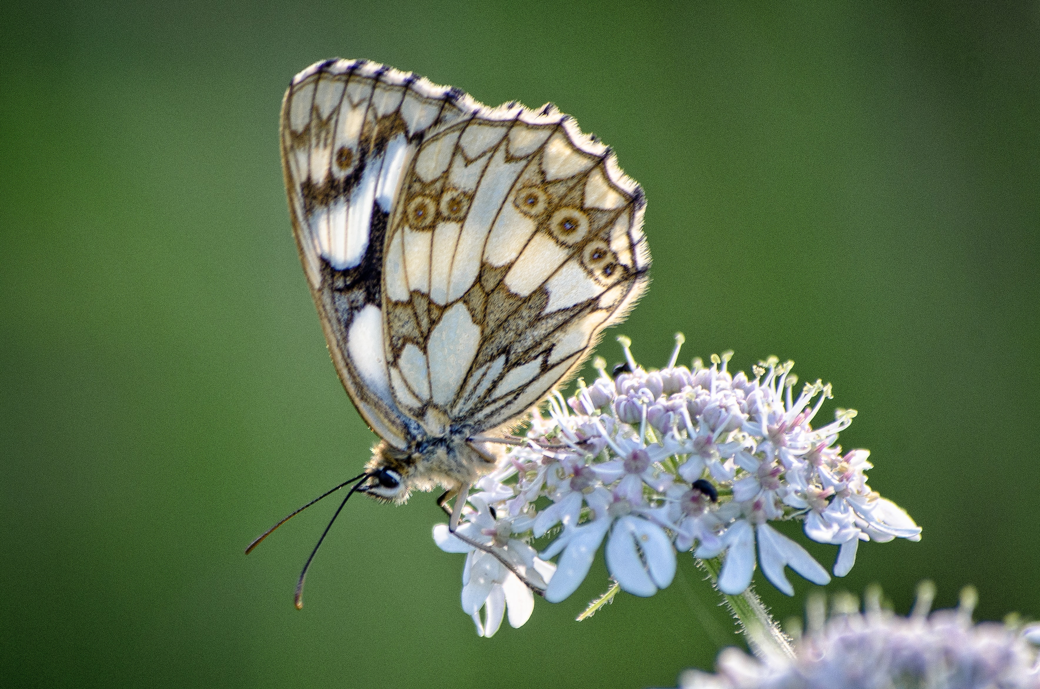selective focus brown and white butterfly perched on white petaled flower