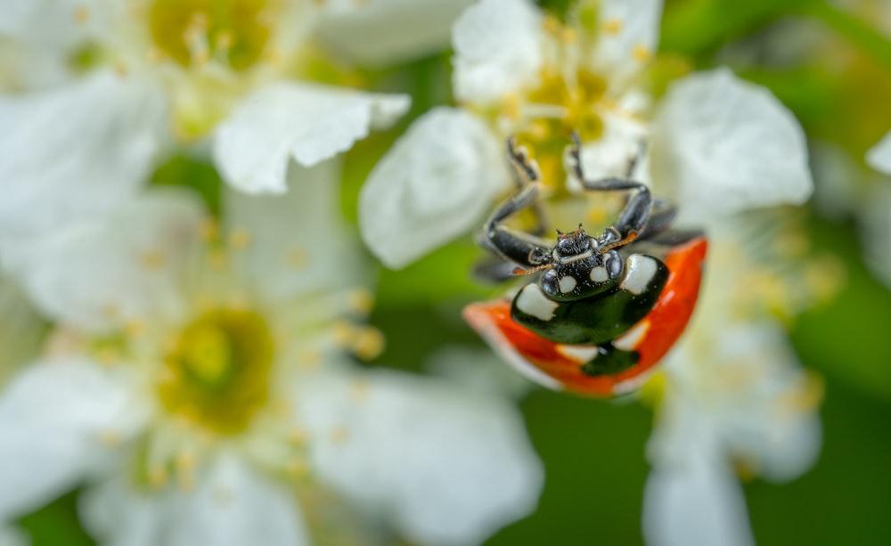 ladybug on white petaled flower