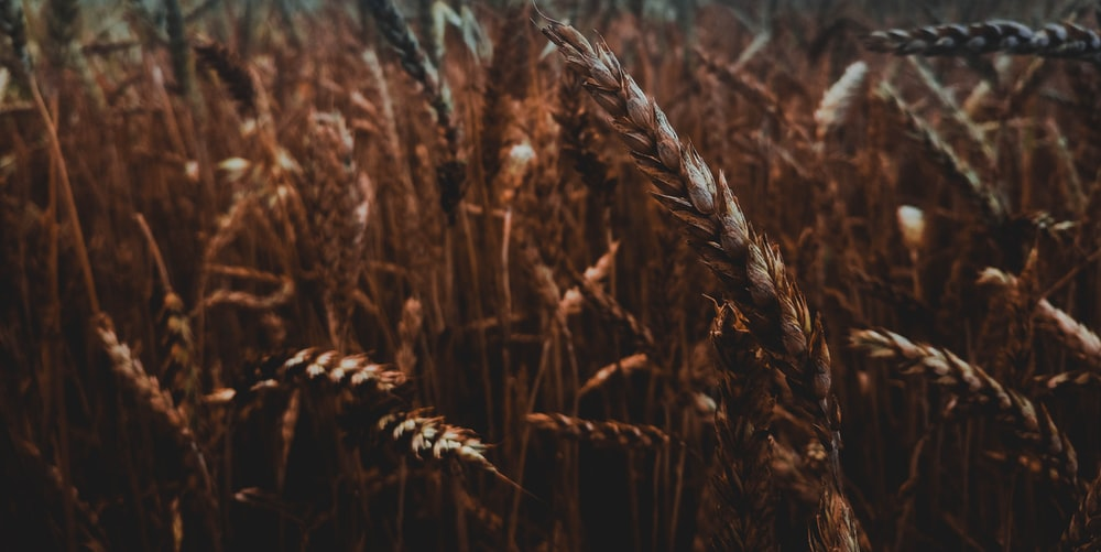 focus photo of rice field
