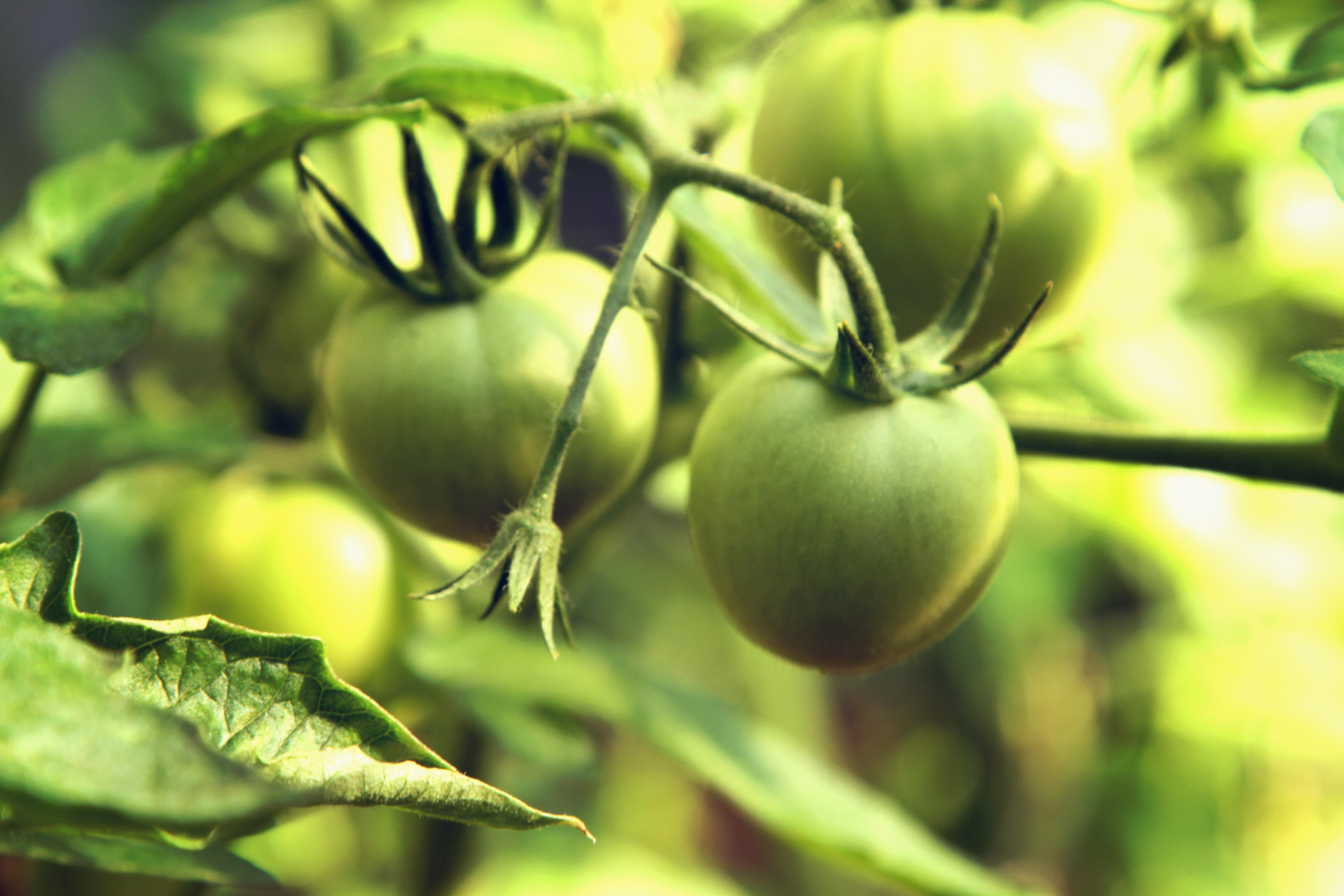 round green fruit