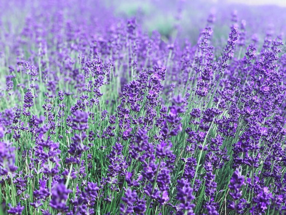 bed of purple petaled flowers