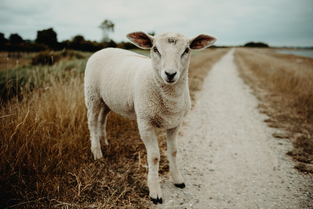 lamb on a pathway