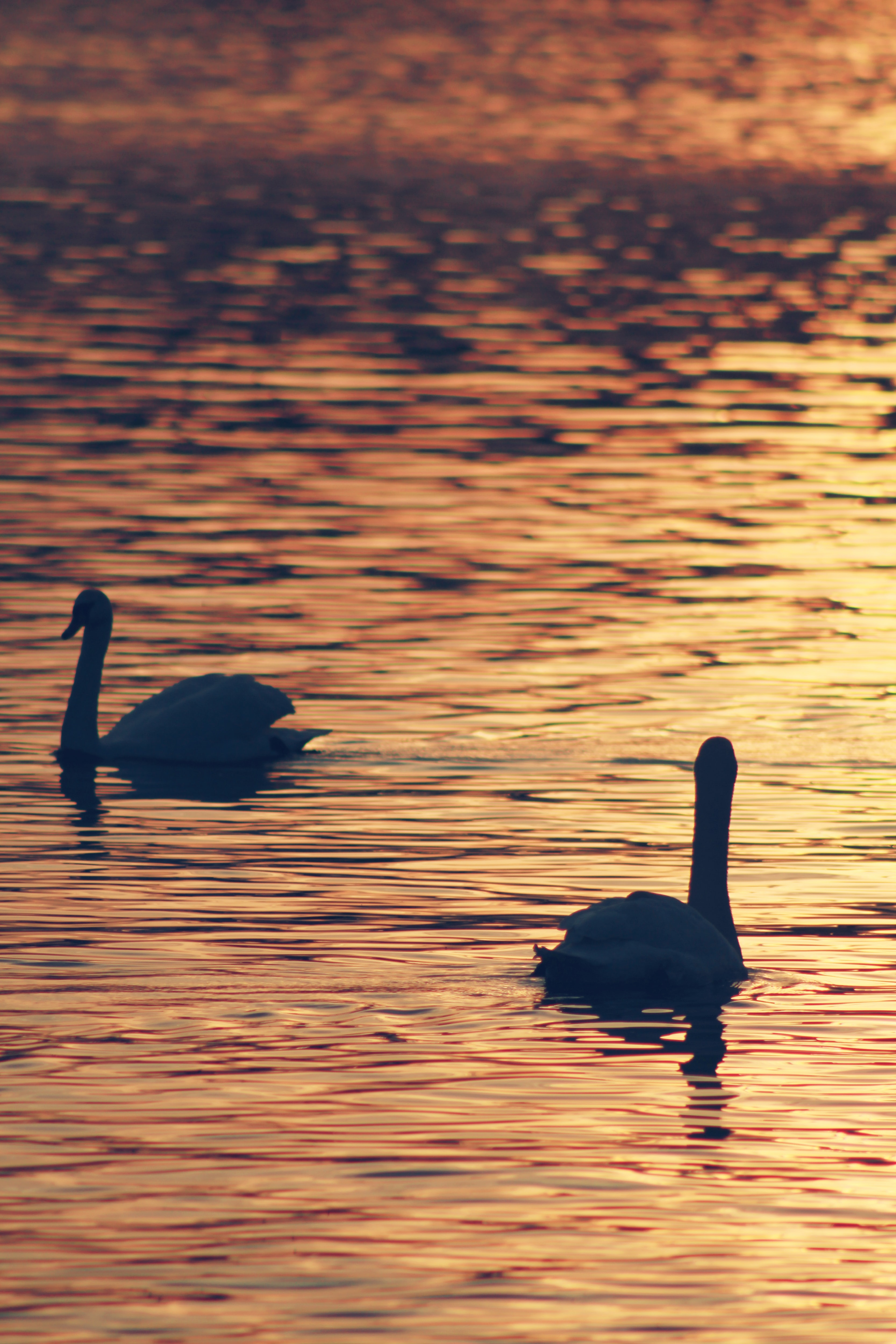 silhouette photo of two swans