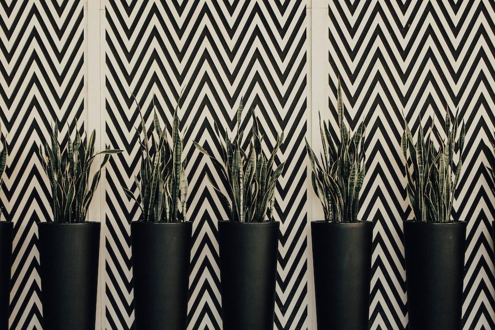 five viper's bowstring plants