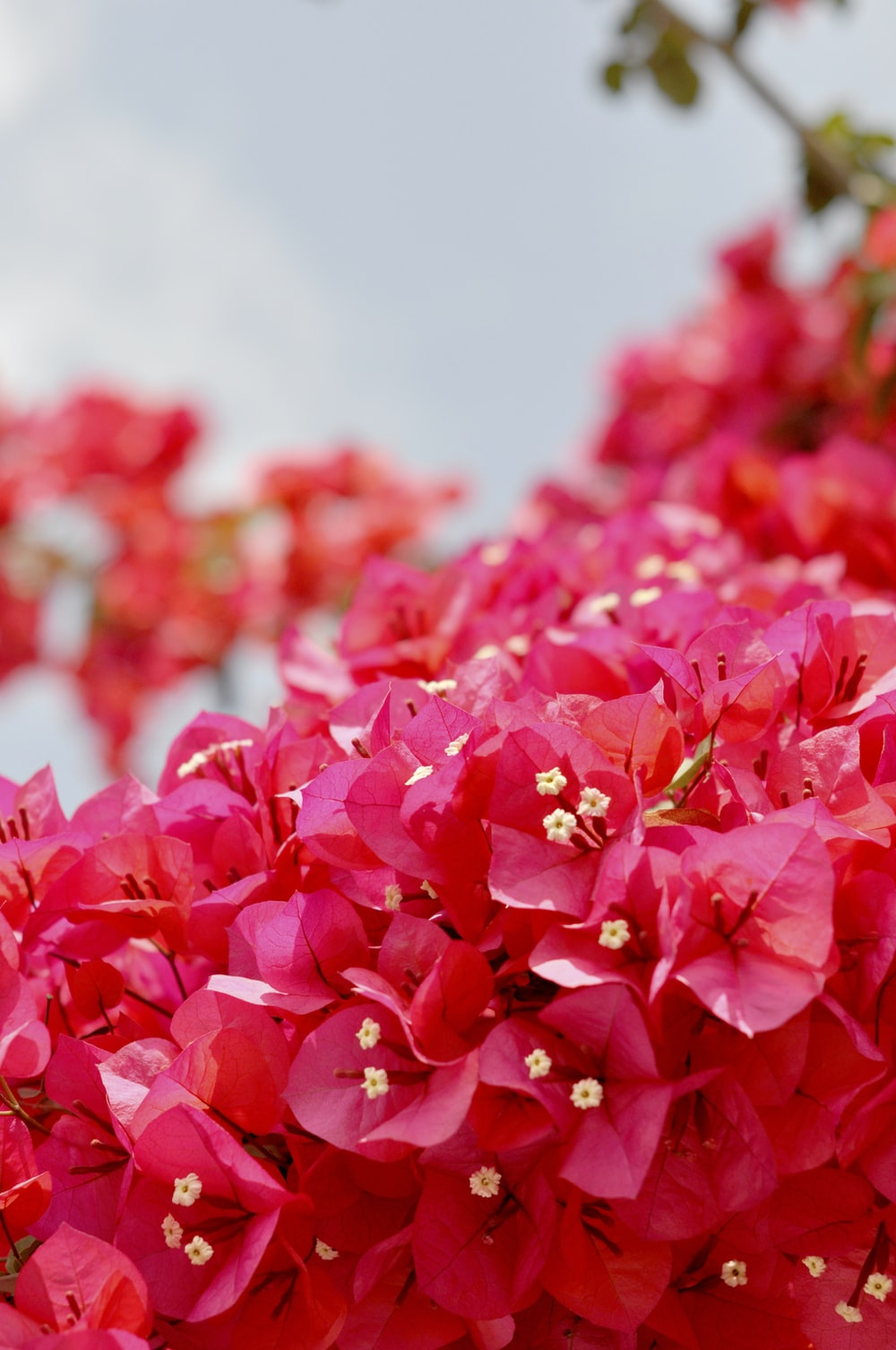 selective focus photo of pink bougainvillea flowers
