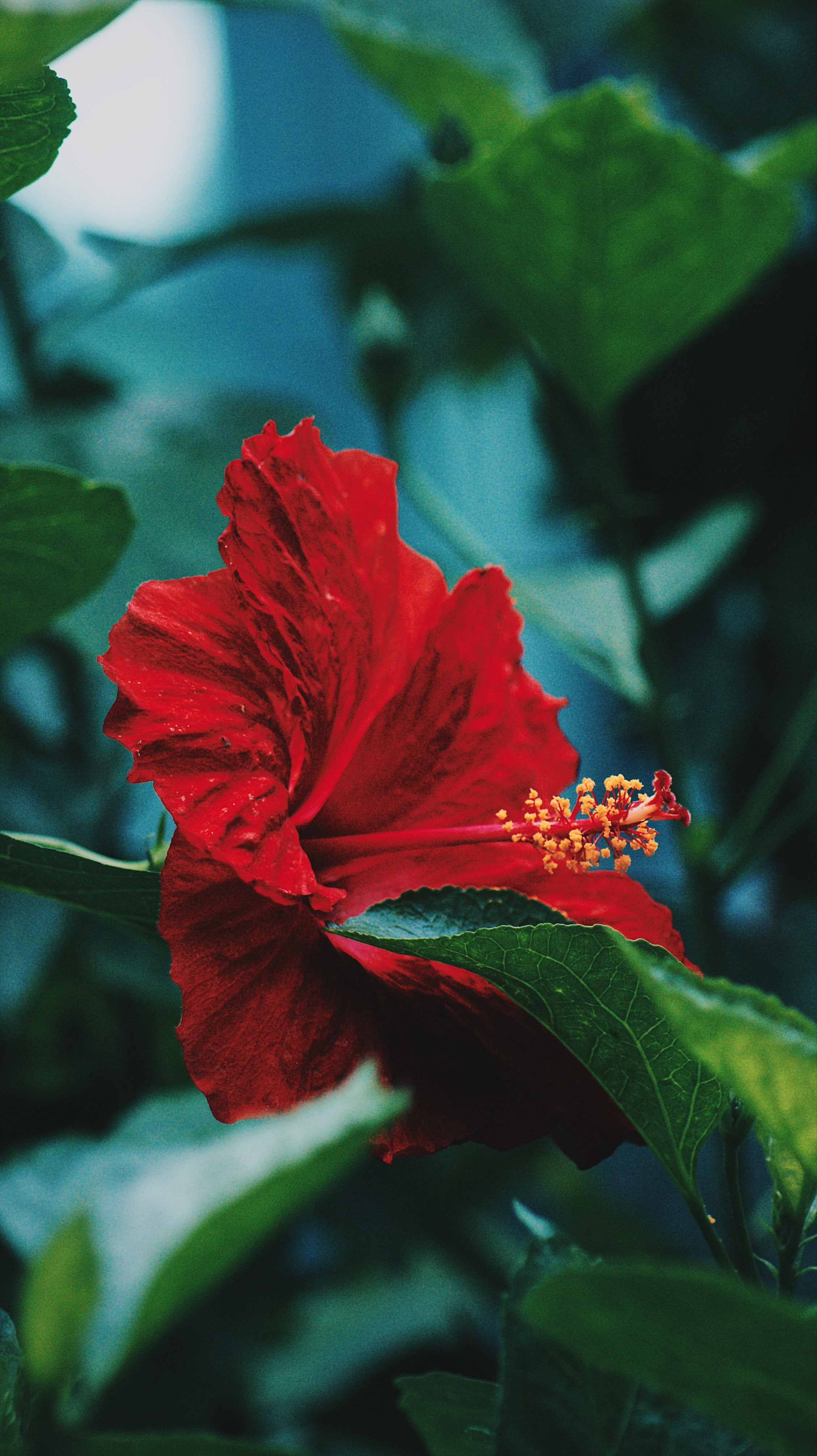 macro photography of red hibiscus flower