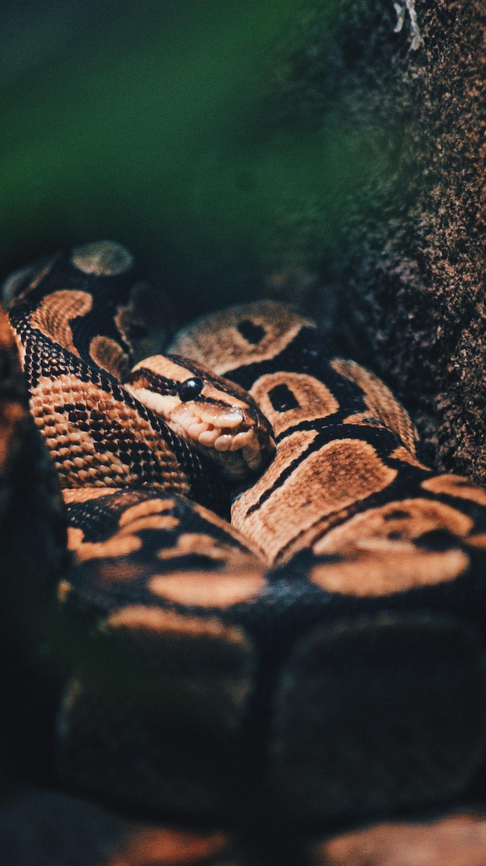 brown ball python