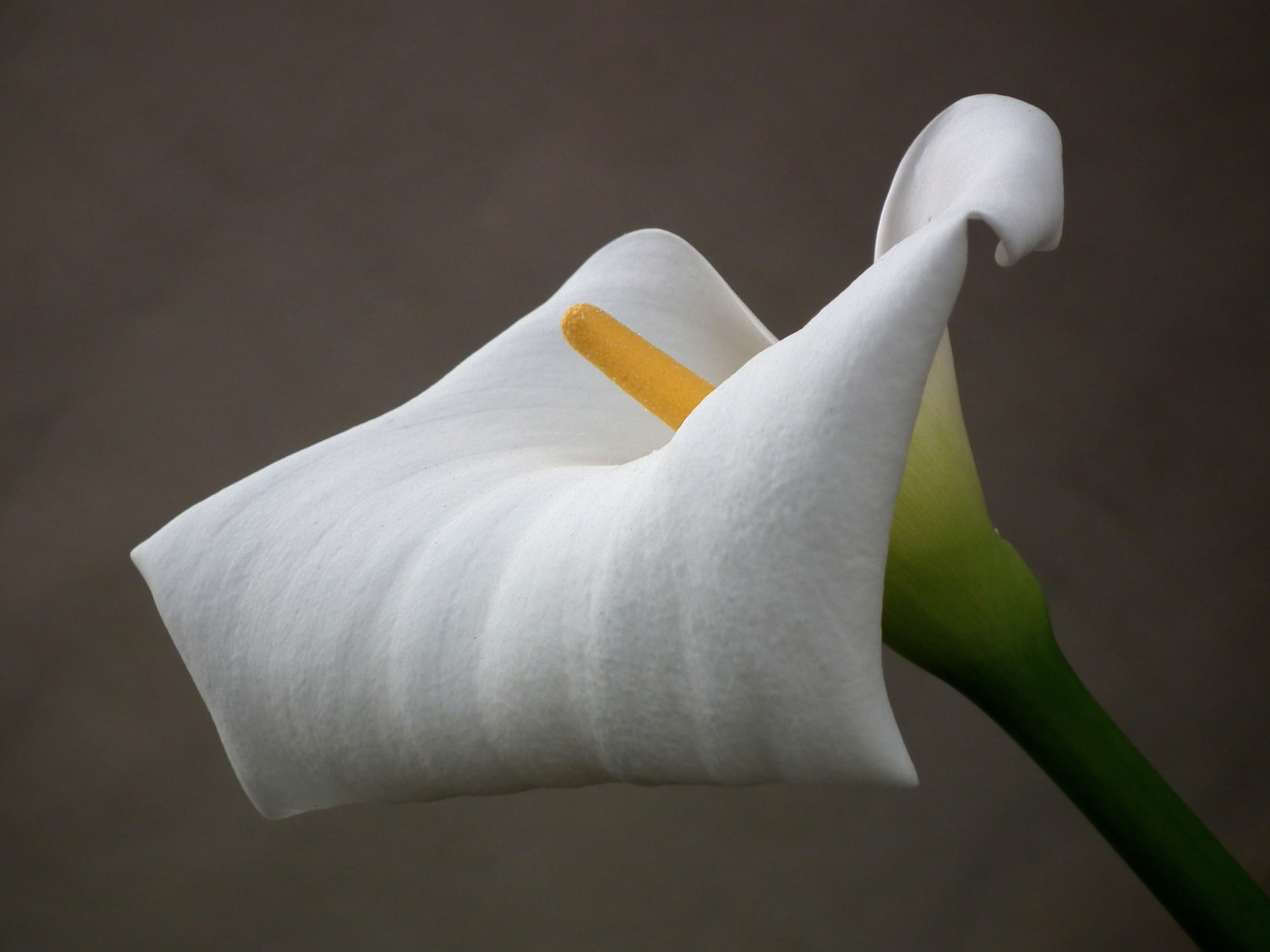 white Callalily flower