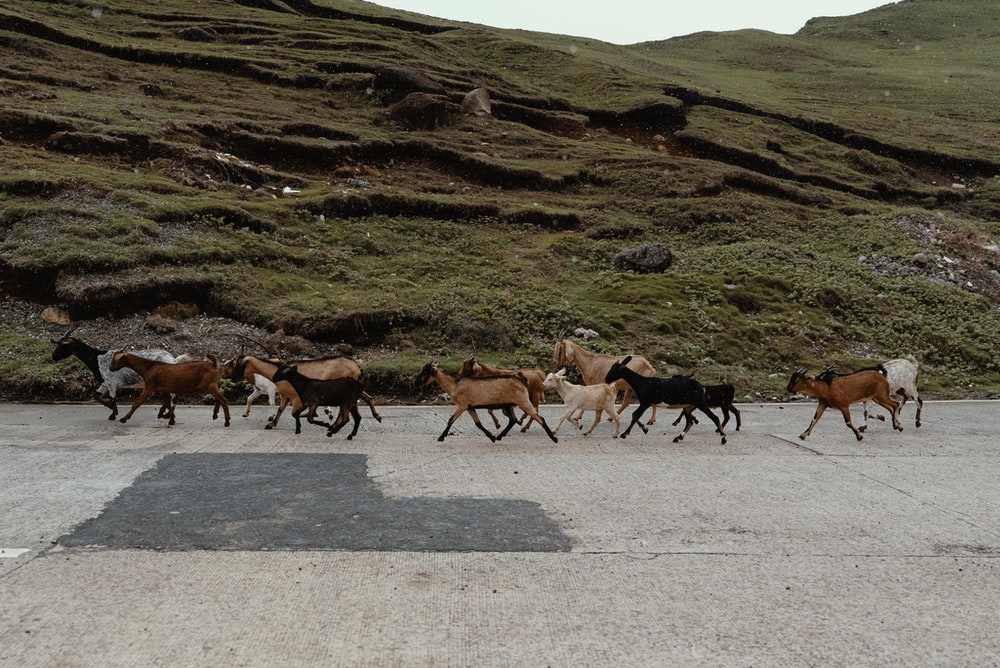 herd of goats on road
