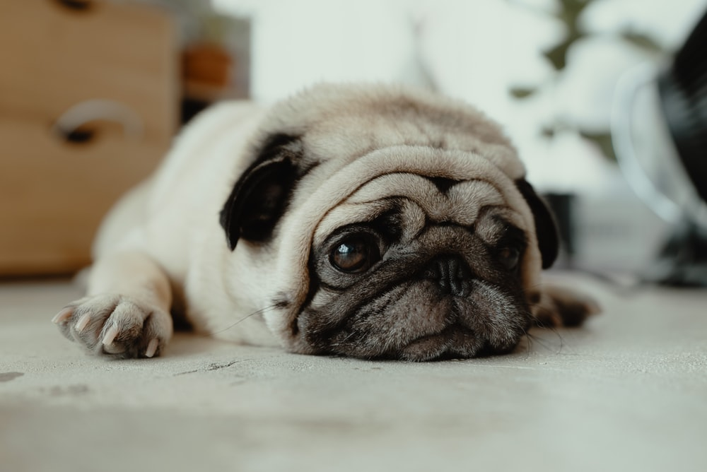 fawn pug puppy laying on ground