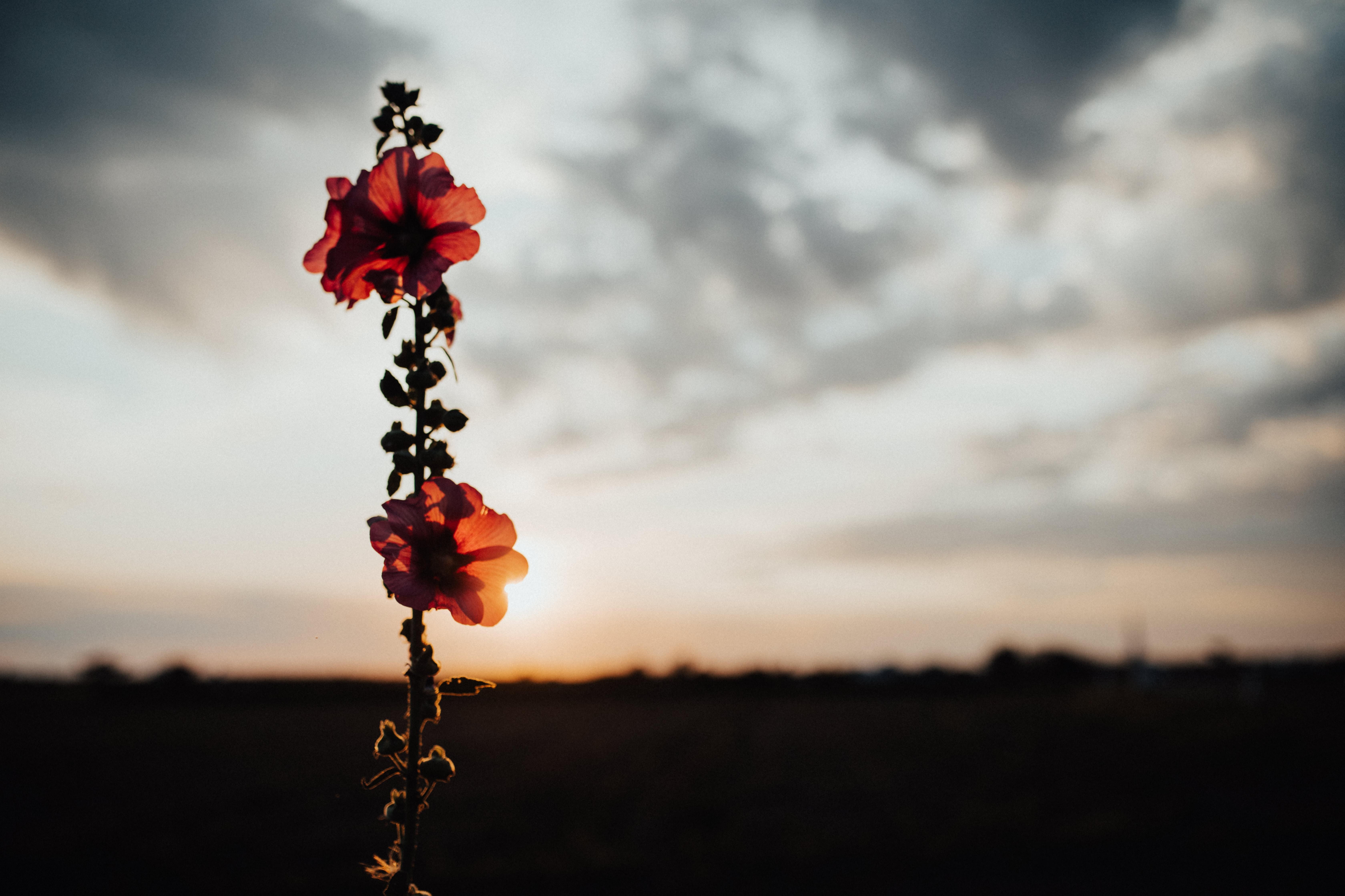silhouette photo of poppy flower