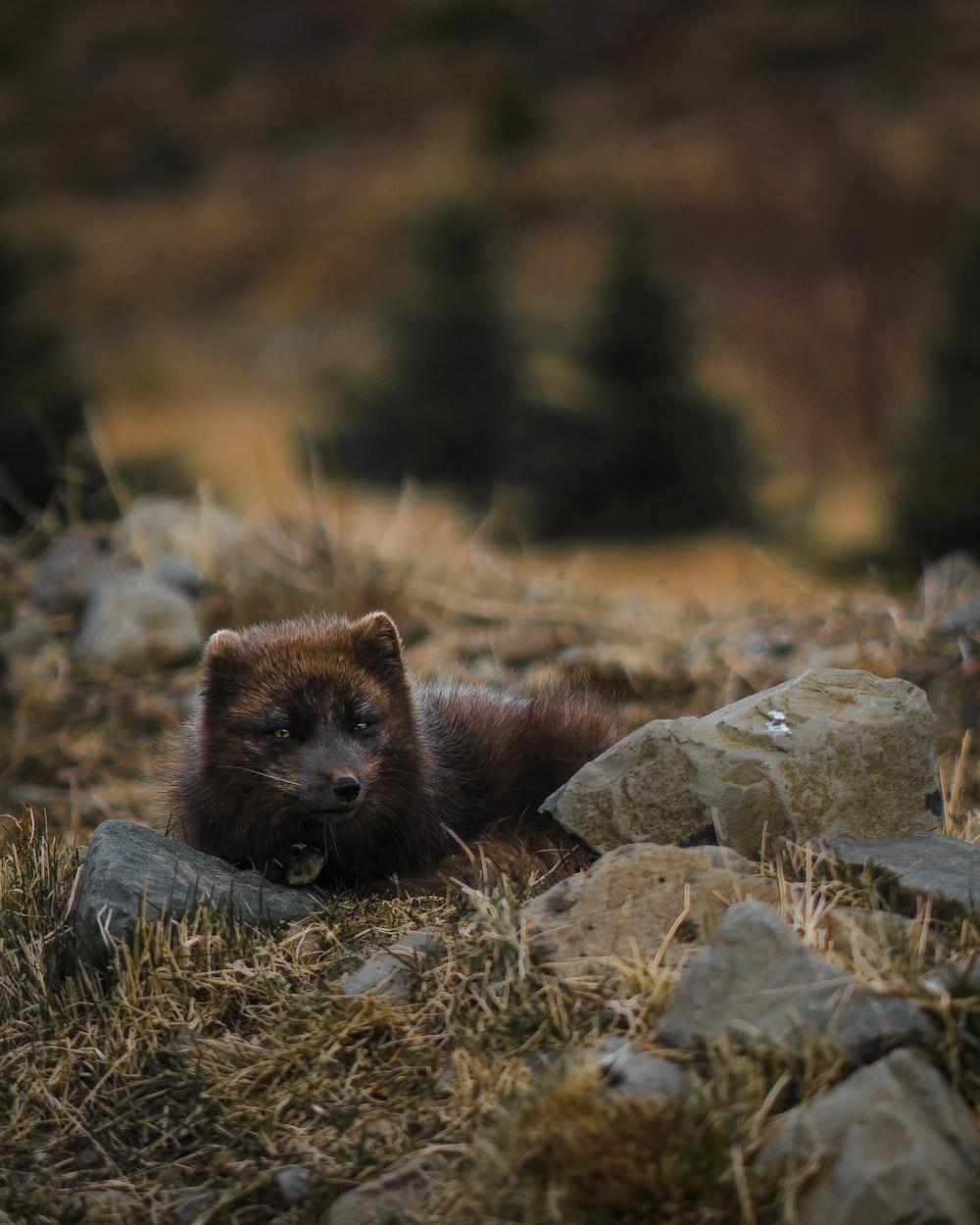 short fur brown animal reclining near rocks