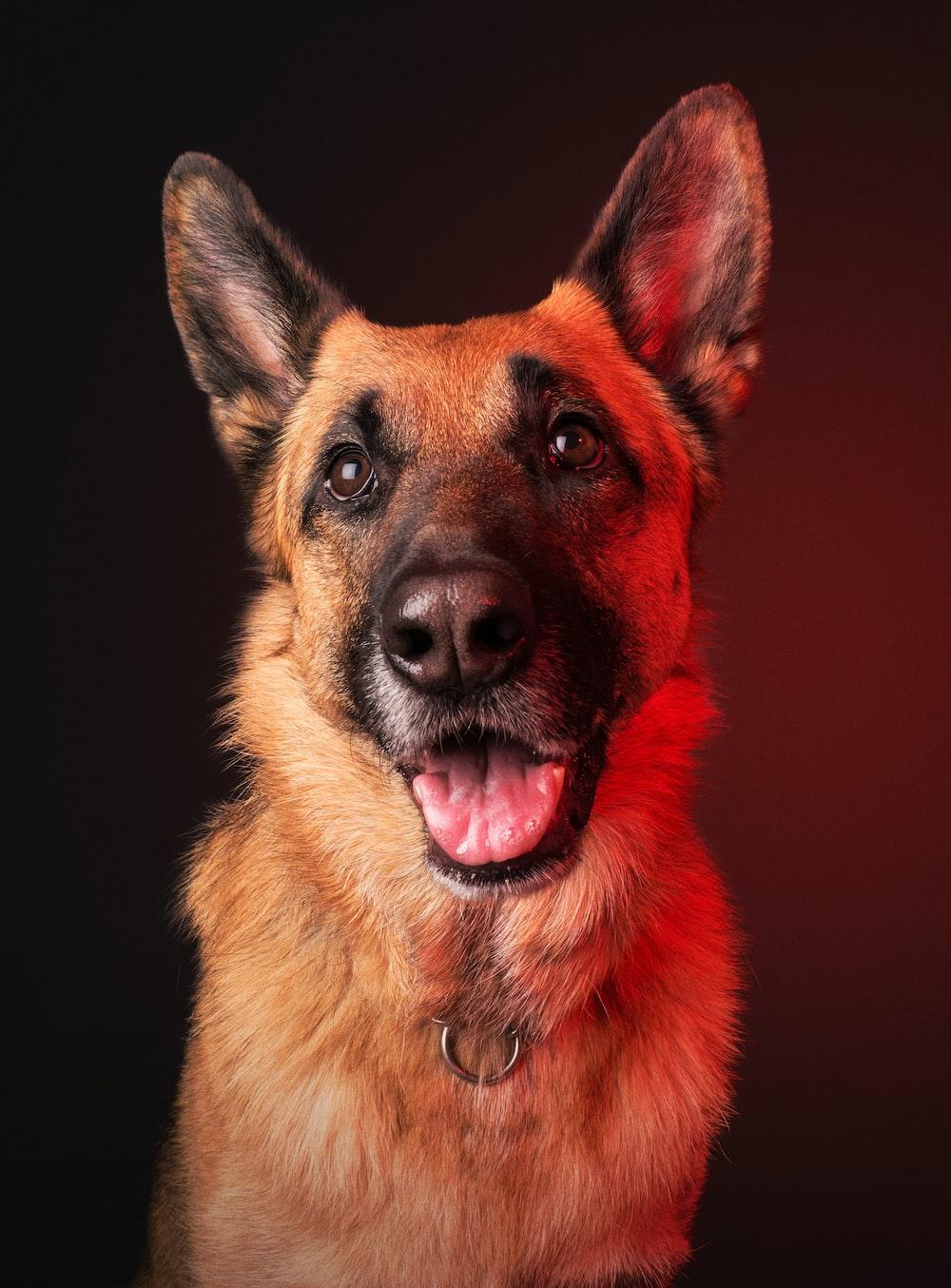 adult brown German shepherd