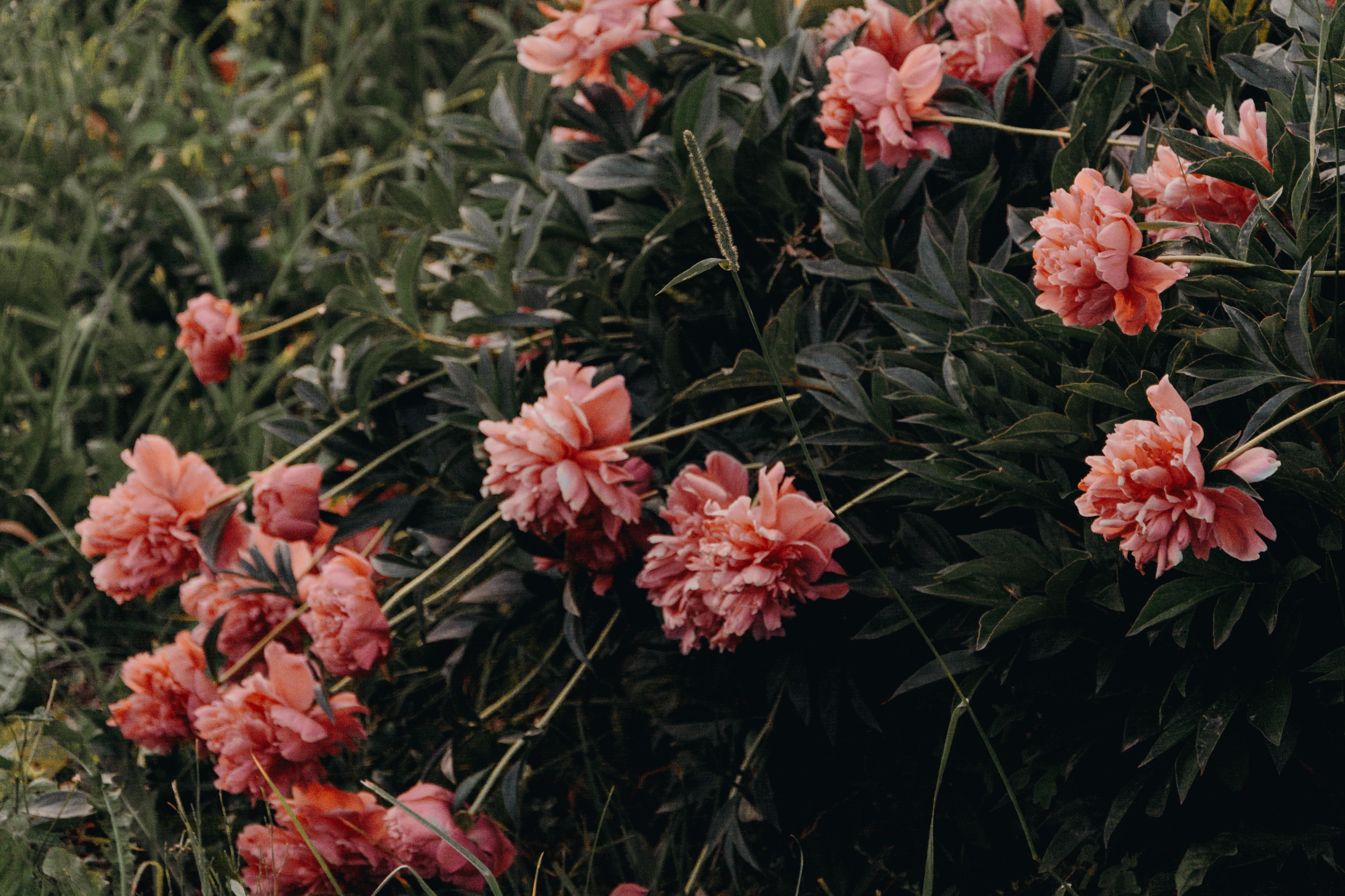 red petaled flowers on focus photo