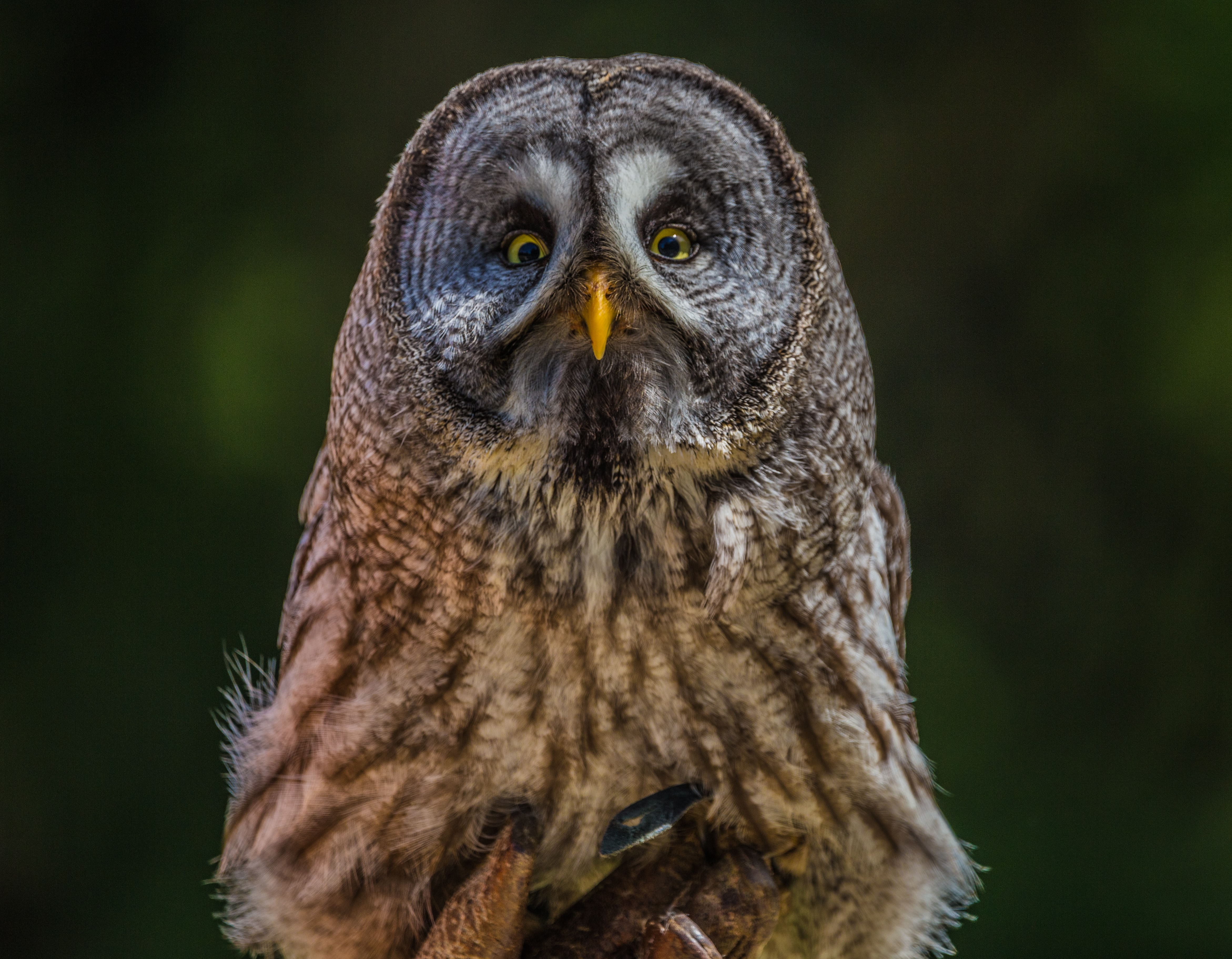 brown owl photo
