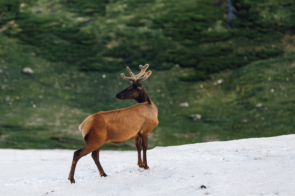 brown deer on snow field