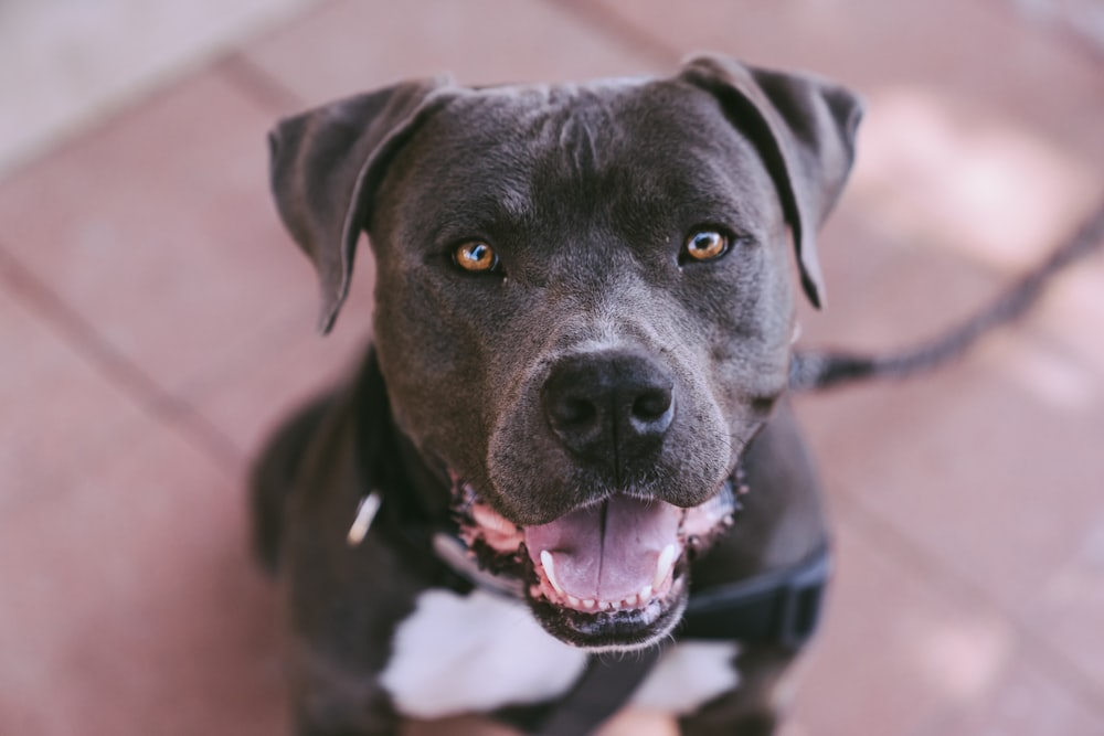 100 pitbull pictures hd download free images on unsplash